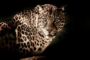 leopard-2895448_640.jpg